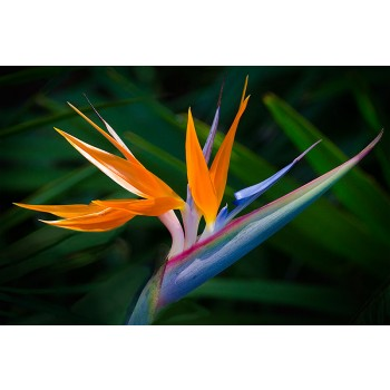 Framar Cutters - Bird of Paradise