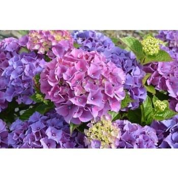 Alan Dunn Collection - Hydrangea Petals Frilled