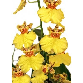 Framar cutters Orchid - Oncidium Throat