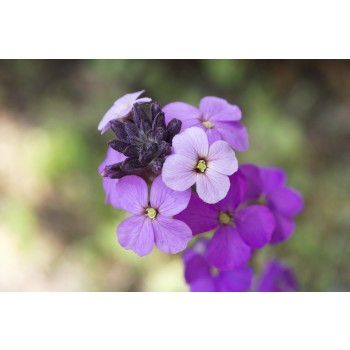 muurbloem, wallflower