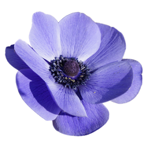 Alan Dunn Collection - Anemone & Leaf