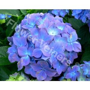 Flower Veiners Hydrangea Petal M