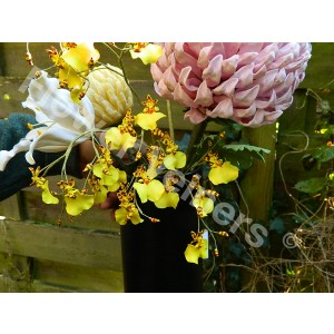 Flower Veiners Oncidium Orchid Golden Shower L