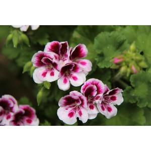 Blooms Pelargonium petal cutters set/2