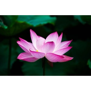 Alan Dunn Collection - Lotus/Water Lily