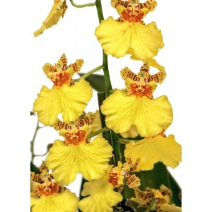 Framar cutters Orchid - Oncidium Throat