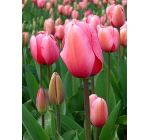 Blooms Tulip Petal Cutter set/2