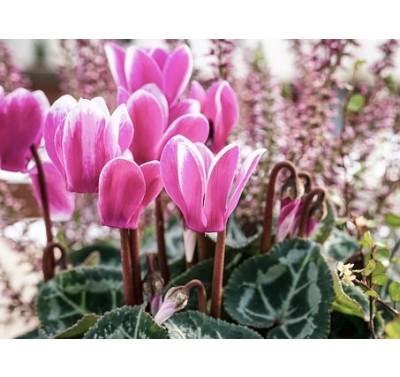 Blooms Cyclamen & leaf