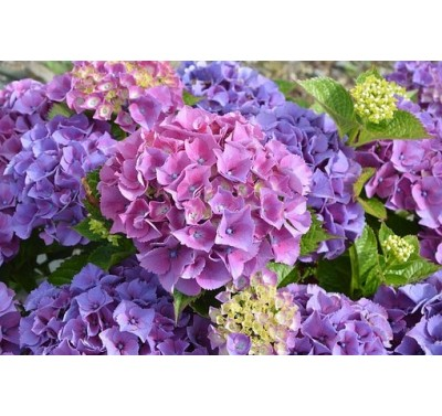 Alan Dunn Collection - Hydrangea Petals Frilled
