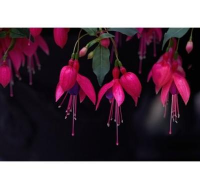 Alan Dunn Collection - Fuchsia set/3